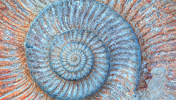 Closeup ammonite prehistoric fossil