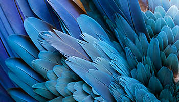 Bird feathers blue yellow macaw