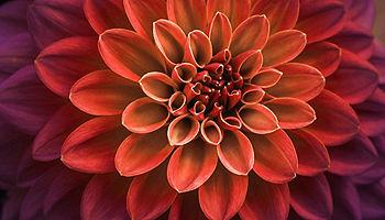 Pink purple dahlia petals