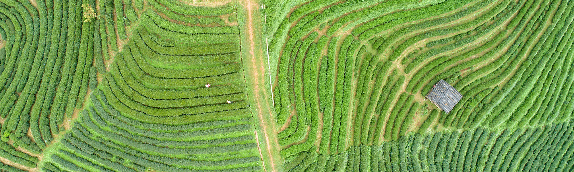 Aerial view Tea farm with sea of mist, green tree, blue mountain and sunlight beam in the morning at Doi Ang Khang, Chiangmai, Thailand
