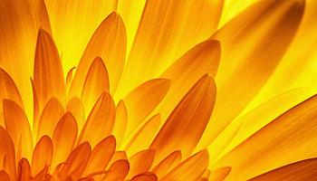 Gerbera flower petal detail