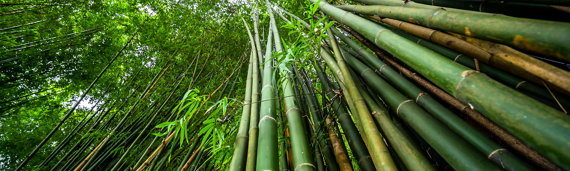 Green bamboo forest nature