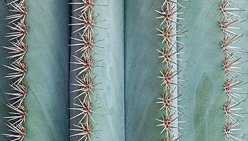 Thorns cactus plant closeup