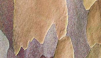 Japanese stewartia tree bark